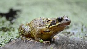 Common frog, UK. Close up of common frog sitting on plank of wood in water