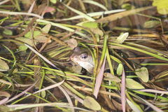 Common Frog Under Plants. A frog that is partly hidden under water plants. The head and eyes are visible, as are the nostrils and the pale underside of the Stock Images