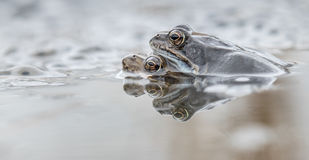 Common frog in water. European common frog in water royalty free stock images
