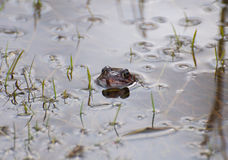 Common frog in the water mirror Royalty Free Stock Images