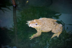Common frog on  water pond Royalty Free Stock Photography