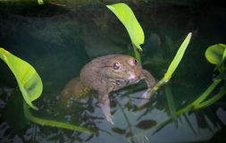 Common frog on  water pond Royalty Free Stock Image