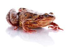 Common frog. Stock Photos