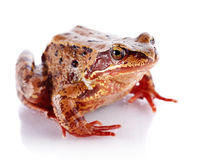Common frog. Royalty Free Stock Image