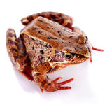 Common frog. Stock Images