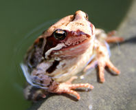 Common frog (Rana temporaria) in the pond Royalty Free Stock Photo