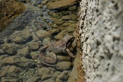 Common Frog. In Zabojsko lake on altitude of 1,477 meters Royalty Free Stock Photography