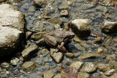 Common Frog. In Zabojsko lake on altitude of 1,477 meters stock photos