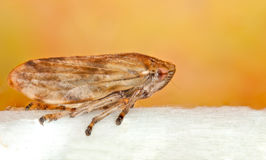 Common Froghopper. (Philaenus spumarius royalty free stock images