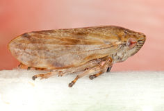 Common Froghopper Stock Photos