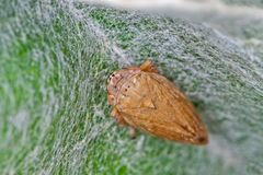 Common Froghopper. (Philaenus spumarius) on a silky leaf stock photography