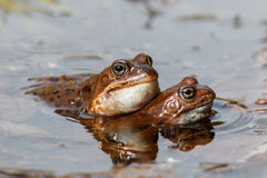 Common frogs. A pair of European common frogs (Rana temporaria) in courtship ritual Stock Image
