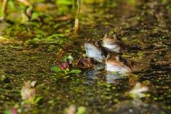 Common Frogs Rana temporaria Stock Image