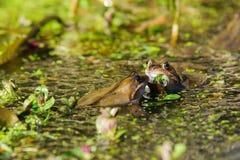 Common Frogs Rana temporaria Stock Photography