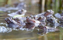 Common frogs. Spring mating of Common frogs royalty free stock photo