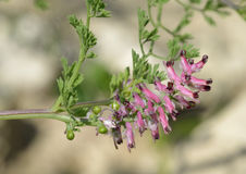 Common Fumitory Royalty Free Stock Photography
