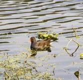 Common gallinula moorhen Royalty Free Stock Photos