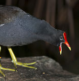 Common Gallinule Stock Image