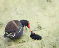 Common Gallinule with a chick. Common Gallinule feeds its chick Royalty Free Stock Photos