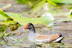Common Gallinule Stock Photography