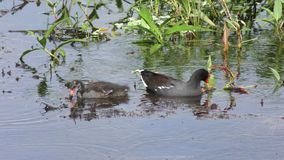 Common Gallinule feeds its chick in a pond stock video footage