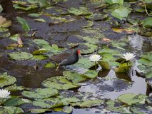 Common Gallinule in a Florida Pond Royalty Free Stock Photography