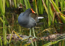Common Gallinule in a Florida Wetland Stock Photo