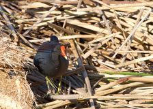 Common gallinule foraging in brown reeds for food. Common gallinule Gallinula galeata,  a bird in the family Rallidae searching through reeds on water for food Royalty Free Stock Photos