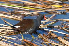 Common gallinule foraging for food in water. Common gallinule Gallinula galeata,  a bird in the family Rallidae searching through reeds on water for food. This Stock Photography