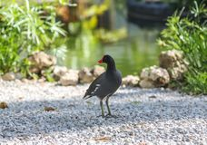 The common gallinule Gallinula galeata is a bird in the family Rallidae royalty free stock image