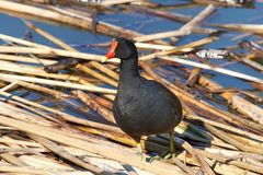 Common gallinule foraging for food in water. Common gallinule Gallinula galeata,  a bird in the family Rallidae searching through reeds on water for food. This Royalty Free Stock Photography