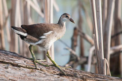 Common Gallinule. On a log in the marsh stock images