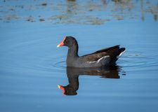 Common Gallinule. In a pond in the Florida wetlands Royalty Free Stock Image