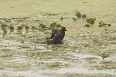 Common gallinule taking a bath in Orlando Wetlands Park. Royalty Free Stock Photo