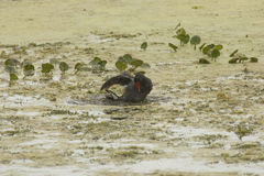 Common gallinule taking a bath in Orlando Wetlands Park. Royalty Free Stock Image