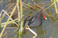 Common Gallinule in a wetland pond Royalty Free Stock Photos