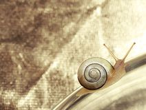 Common Garden Banded Snail Crawling on Metallic Background. Female Snail sitting on Metallic Background Royalty Free Stock Image