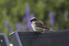 Common garden bird perched on chair. Male house sparrow. Common urban garden bird perched on chair. Male house sparrow Passer domesticus on garden furniture Royalty Free Stock Photography