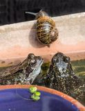 Common Garden Frogs and Snail Royalty Free Stock Image