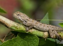 Common garden lizard. The common garden lizard on cactus stock photos