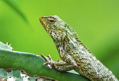 Common garden lizard. The common garden lizard on cactus stock photo