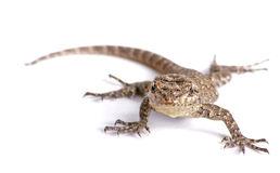 Common garden lizard isolated on white. Photo of a common garden lizard isolated on white stock image