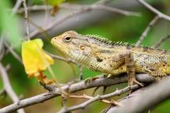 Common Garden lizard royalty free stock image