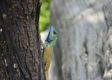 Common garden lizard on trees Stock Photos