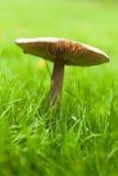 Common garden mushroom Stock Image