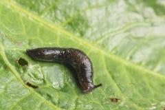 Common Garden Slug Stock Image