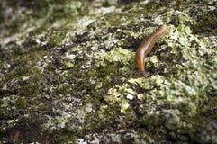 Common Garden Slug Royalty Free Stock Photo