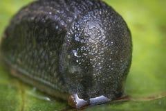Common Garden Slug Stock Photography