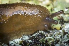 Common Garden Slug Royalty Free Stock Image