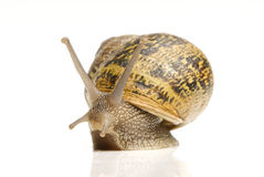 Common Garden Snail. Closeup of Common Garden snail reflecting on white background Royalty Free Stock Images